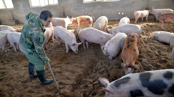 Trung Quốc tìm ra vắc xin ngừa dịch tả heo châu Phi